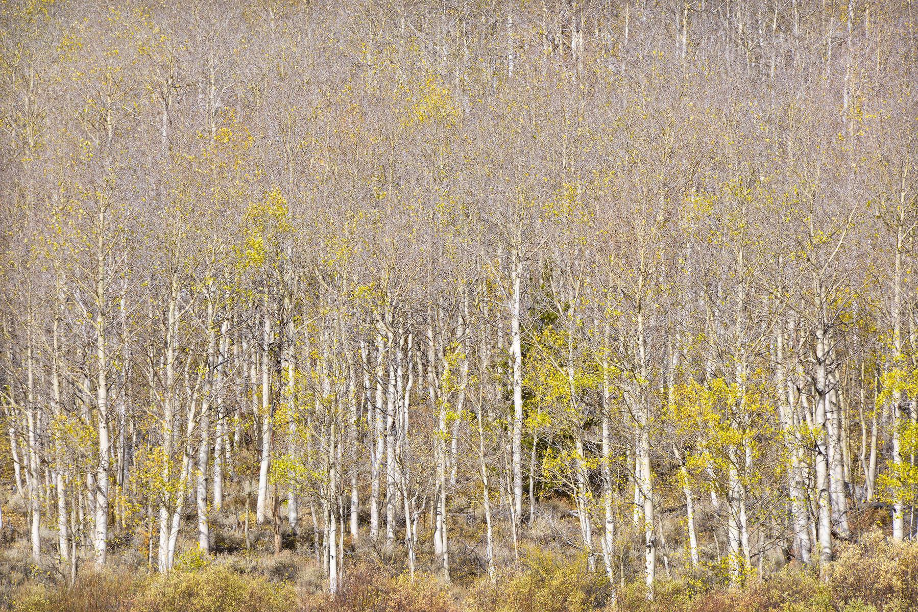 395-Eastern-Sierra-Aspen-Trees---Dead-Stand-1-for-Web