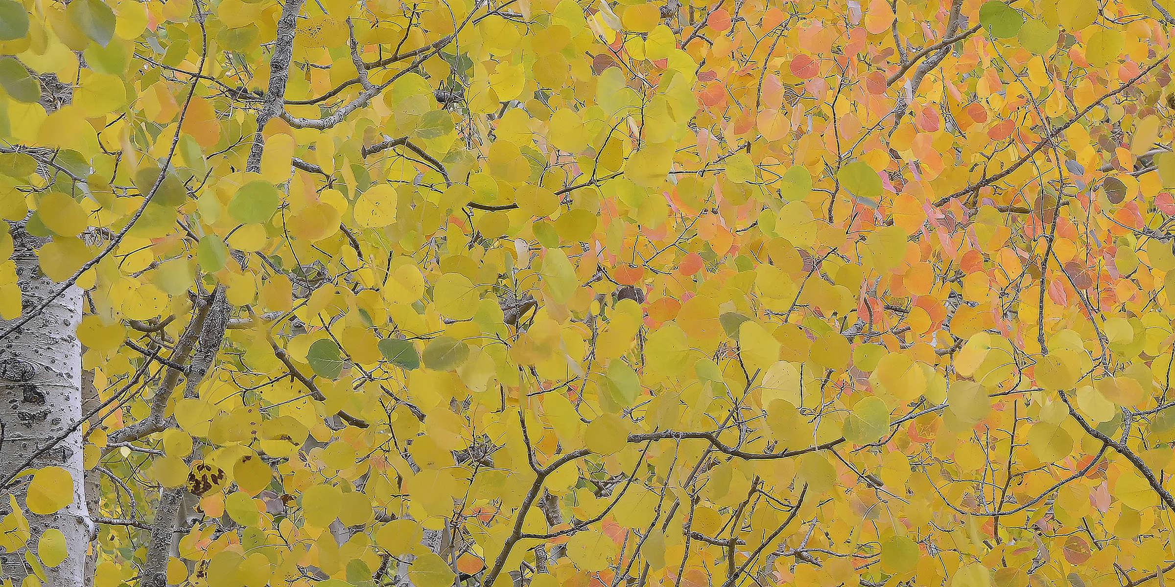 Aspen-Leaves-_1-14x7-for-web