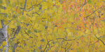Aspen-Leaves-_1-14x7-for-web