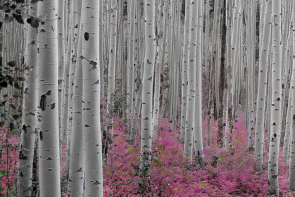 Aspen_Trees_-_Pink_Flowers_Horizontal__4x6__jpeg_