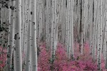 Aspen_Trees_-_Pink_Flowers_Horizontal__4x6__jpeg_