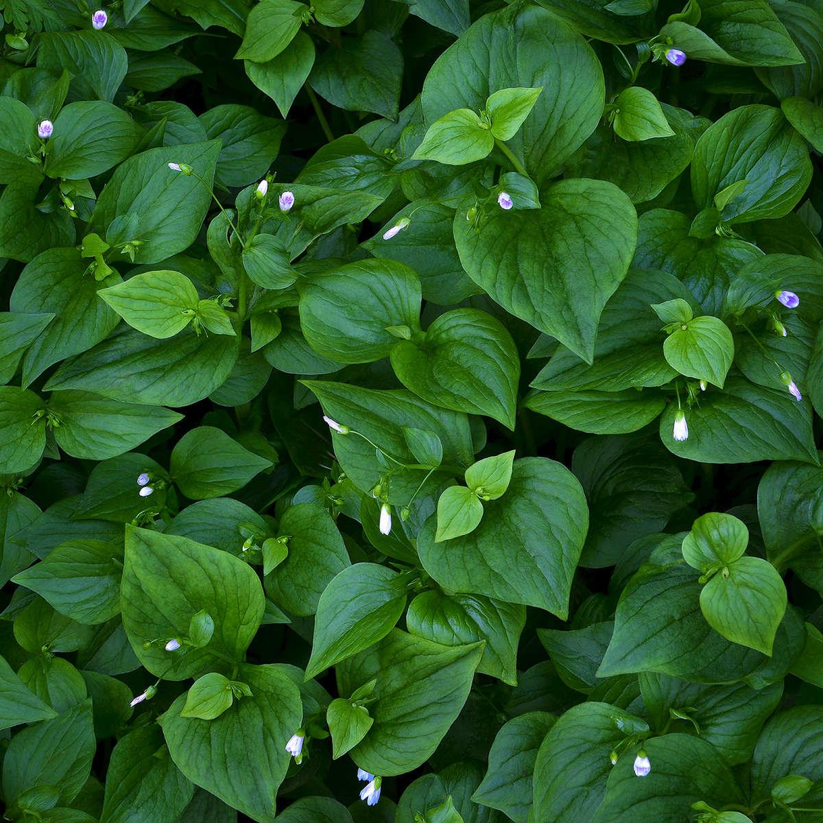 Brunnera-Macrophylla-_false-forget-me-not_-for-web