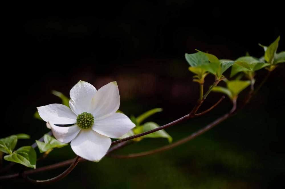 Dogwood-and-Leaves-to-the-RightSmooth