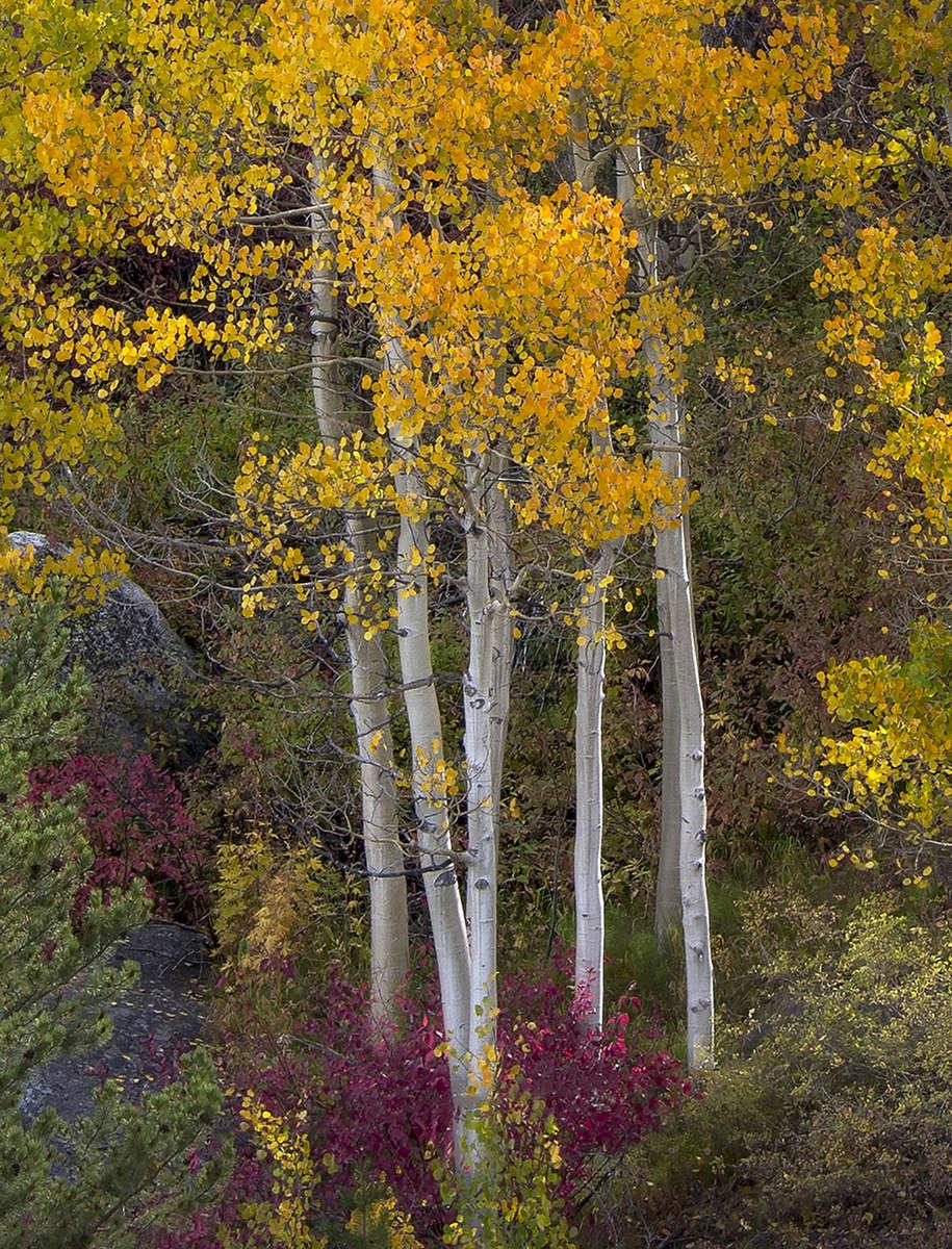 Eastern-Sierra-Tree-Grouping-for-Neon-Sky-200dpi