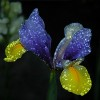Highlighted_Iris