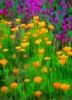 Poppy_s___Lavender__4_TPZ