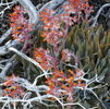 Roeser---Ice-Plant-in-Bloom--at-Shaver-Lake-for-Spectrum-Gallery