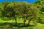 Spring time oaks