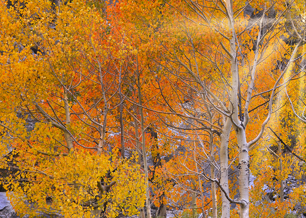 Trees-and-Color---Eastern-Sierra