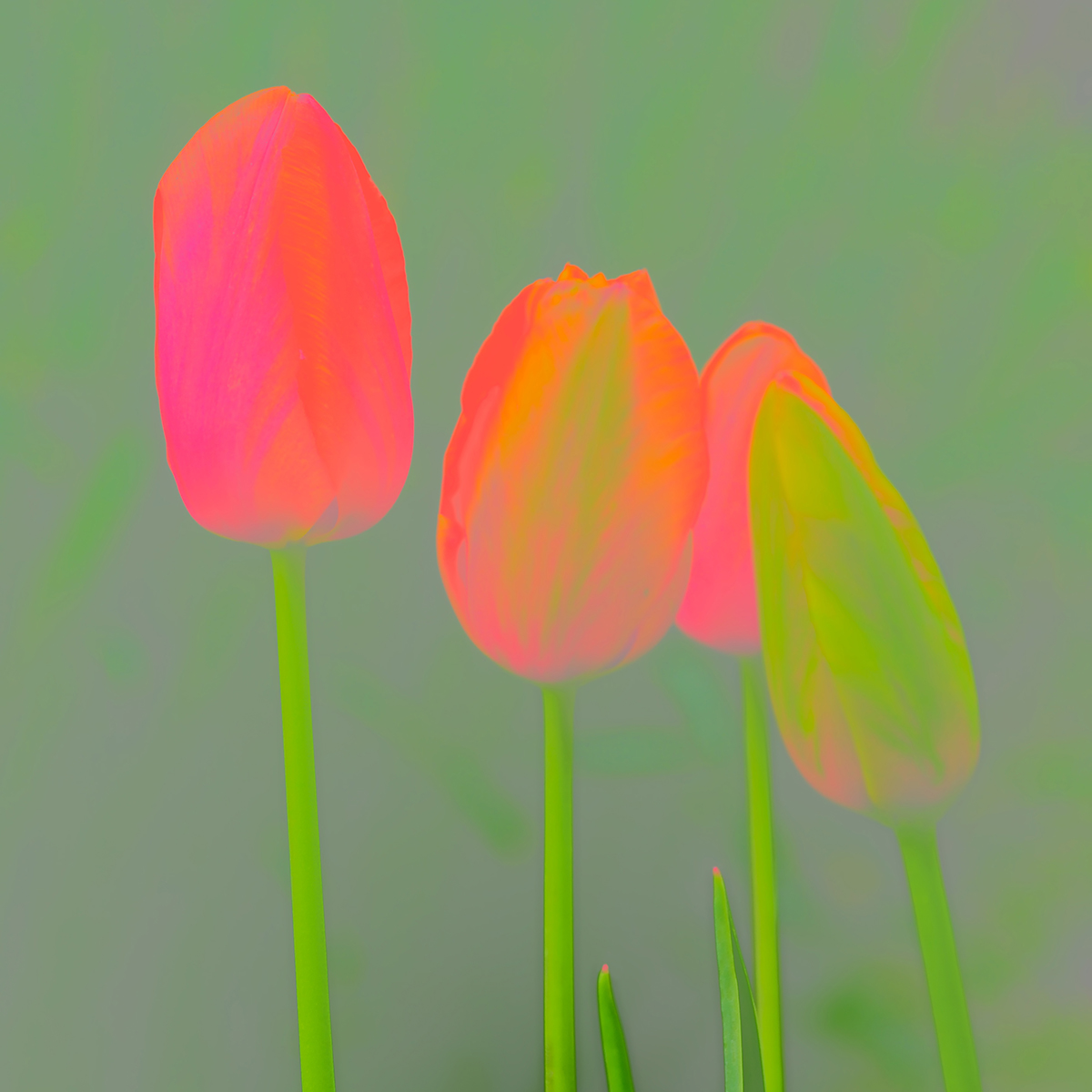 Tulips-Abstract-for-Web