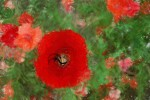 Van_Beurden_Single_Poppy