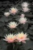 Water_Lilly_Black___White__2
