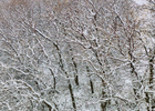 Winter-Trees-with-Snow