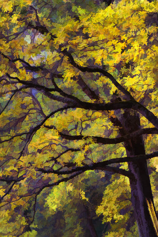 Yosemite_Oak_Branches__1_16x24