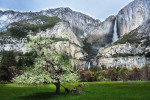 apple_tree_in_yosemite