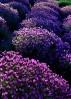 lavender_hill_5x7