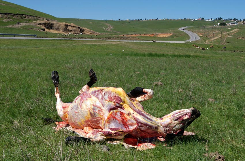 A skinned cow, killed by a vehicle on the road near Mqanduli, Eastern Cape.