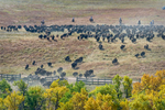Custer, South Dakota, USA(Bison bison)Image no: 15-042607   Click HERE to Add to Cart