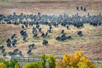 Custer, South Dakota, USA(Bison bison)Image no: 15-042615   Click HERE to Add to Cart
