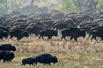 Custer, South Dakota, USA(Bison bison)Image no: 15-043020   Click HERE to Add to Cart