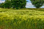 Barley_Yorkshire_Dales_National_Park_13-029155_vv