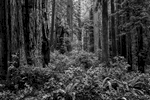 Landscape photographs from Redwood National Park, CAKlamath, CaliforniaImage no: 16-005080-bw   Click HERE to Add to Cart