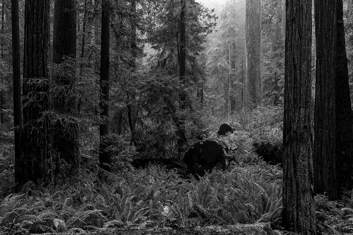 Landscape photographs from Redwood National Park, CAKlamath, CaiforniaImage no: 16-005088-bw   Click HERE to Add to Cart