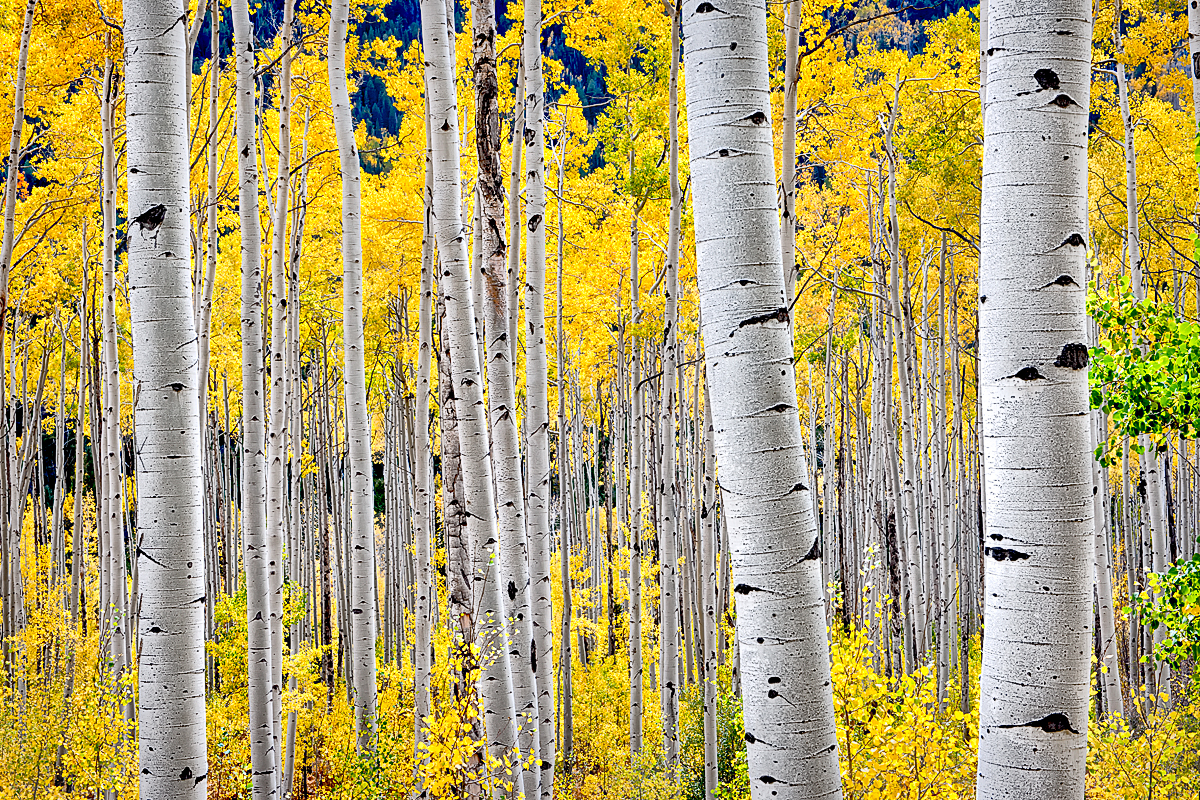 Aspen Trees In Fall Colour Color Trees Beautiful