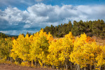 Colorado, USA(Populus tremuloides)Image  No: 110726-01Click HERE to Add to Cart