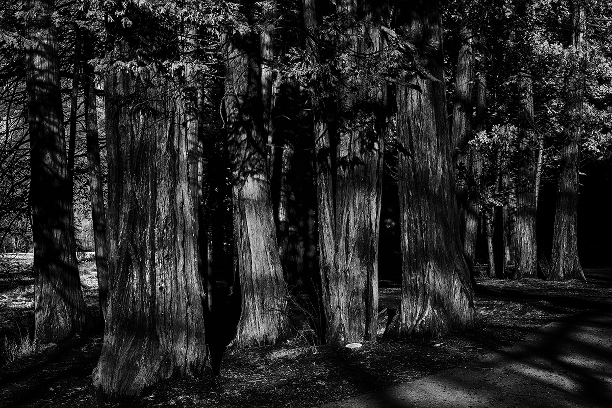 California, USA(Sequoiadendron giganteum)Image No: 15-049961-bw  Click HERE to Add to Cart