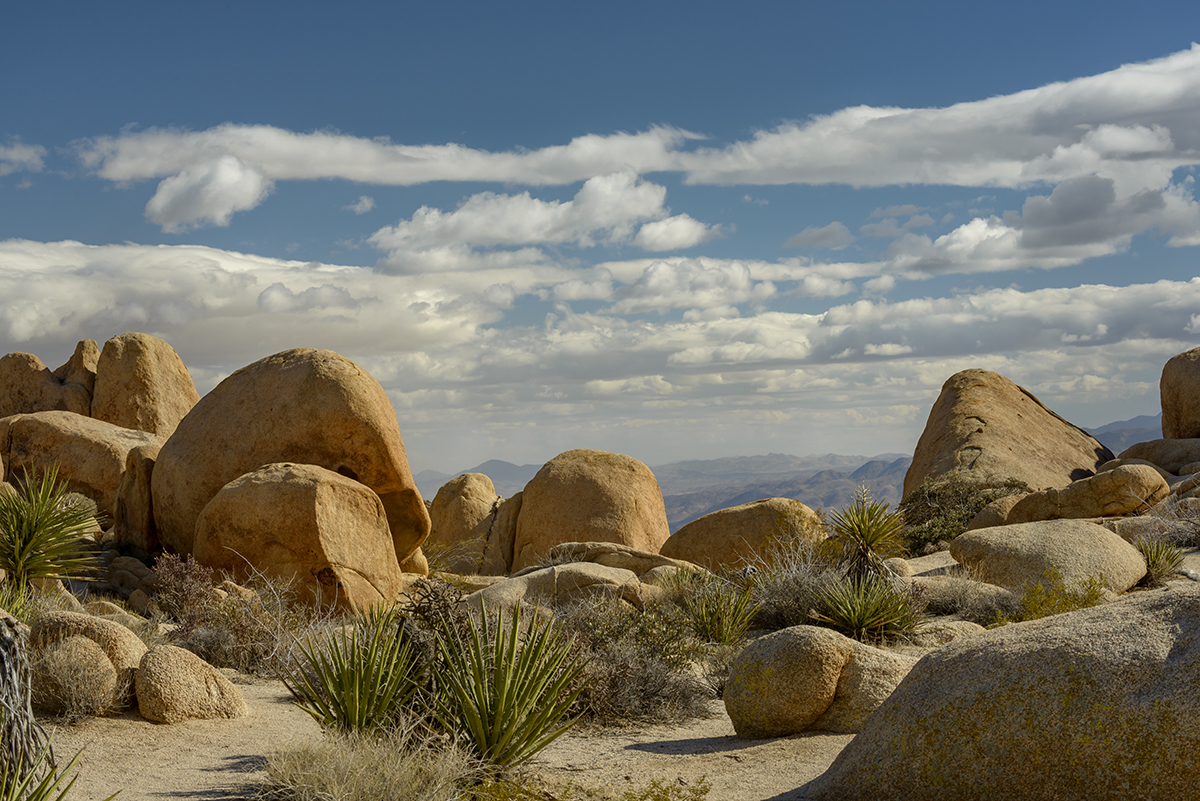 California, USA(Yucca schidigera)Image No: 16-002735  Click HERE to Add to Cart