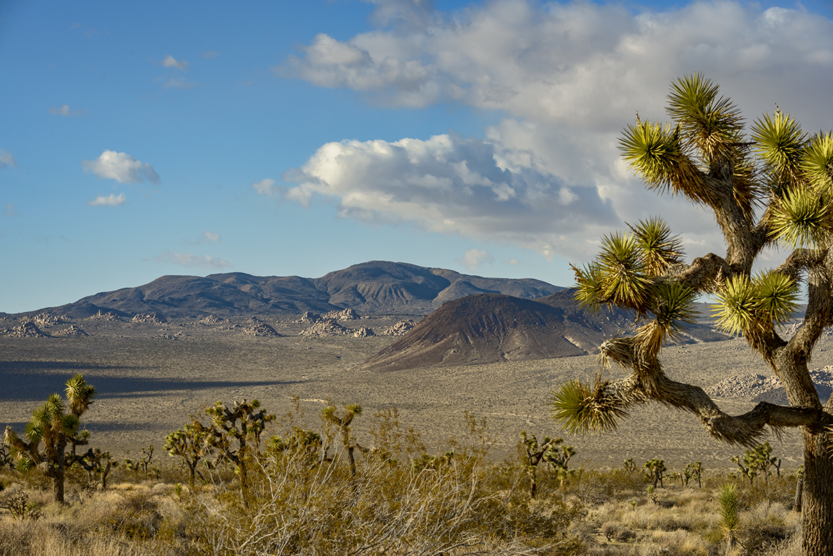 Desert Mountain Landscapes from California(Yucca brevifolia)Image No: 16-002784  Click HERE to Add to Cart