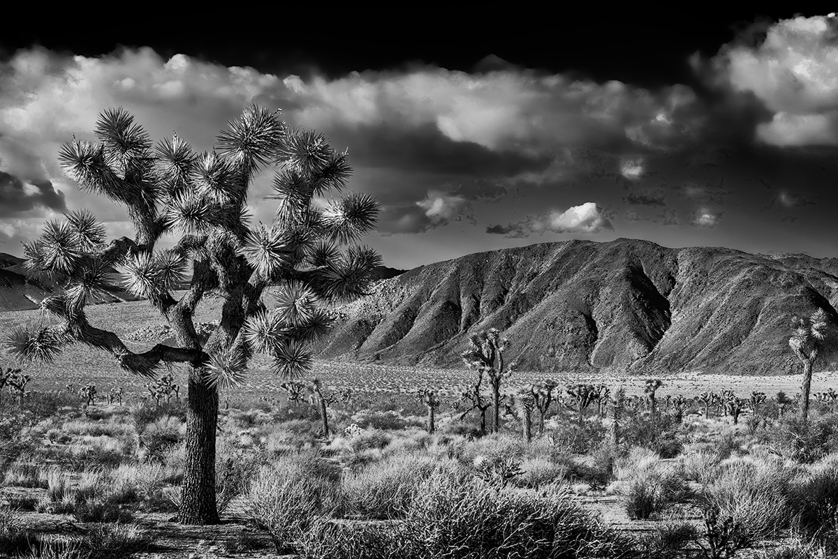 California, USA(Yucca brevifolia)Image No: 16-002795-bw  Click HERE to Add to Cart
