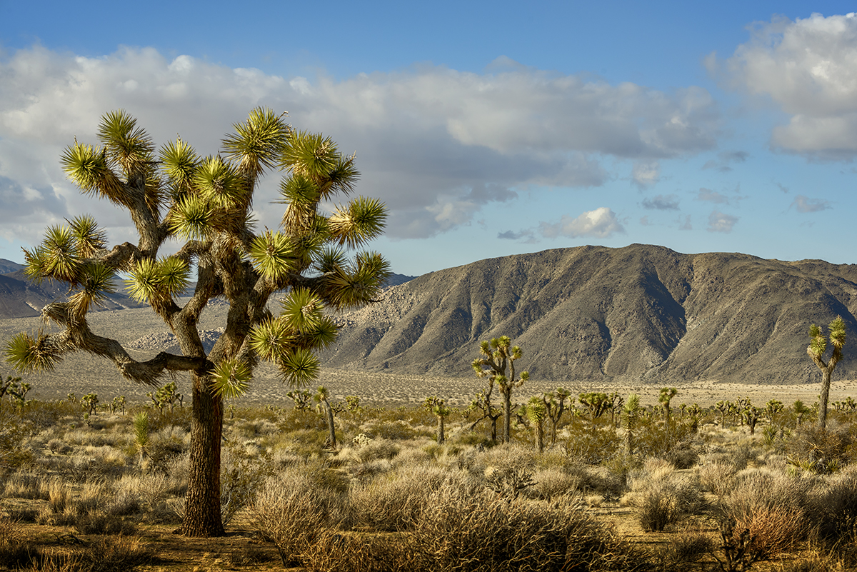 Desert Mountain Landscapes from California(Yucca brevifolia)Image No: 16-002795  Click HERE to Add to Cart