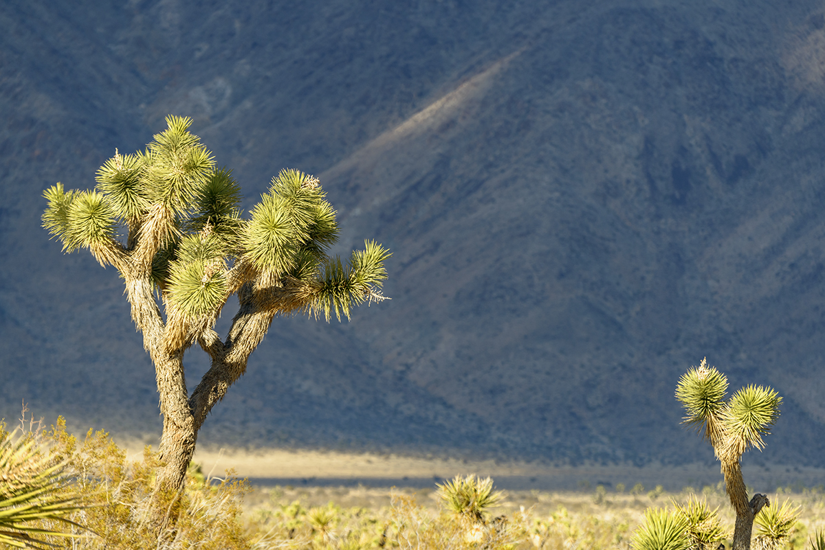 Desert Mountain Landscapes from California(Yucca brevifolia)Image No: 16-002796  Click HERE to Add to Cart
