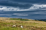 Color Photograph of Sheep Grazing on the High Fells