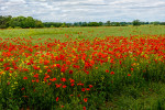 Poppies_Yorkshire_Dales_National_Park_13-029150_vv