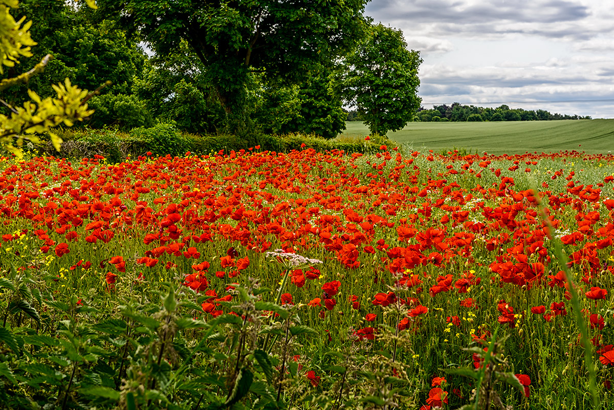 Poppies_Yorkshire_Dales_National_Park_13-029161_vv