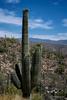 Cacti in flower, AZ