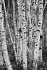 Fairbanks, Alaska, USA(Populus tremuloides)Image no: 16-027270-bw  Click HERE to Add to Cart