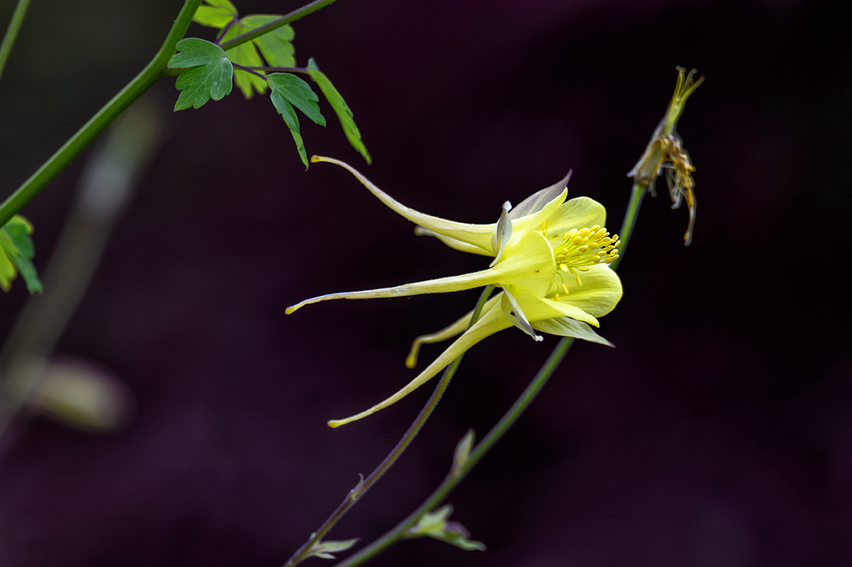 (Aquilegia flavescens)Image no: 16-018246   Click HERE to Add to Cart