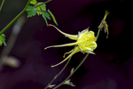 England(Aquilegia flavescens)Image no: 16-018246   Click HERE to Add to Cart
