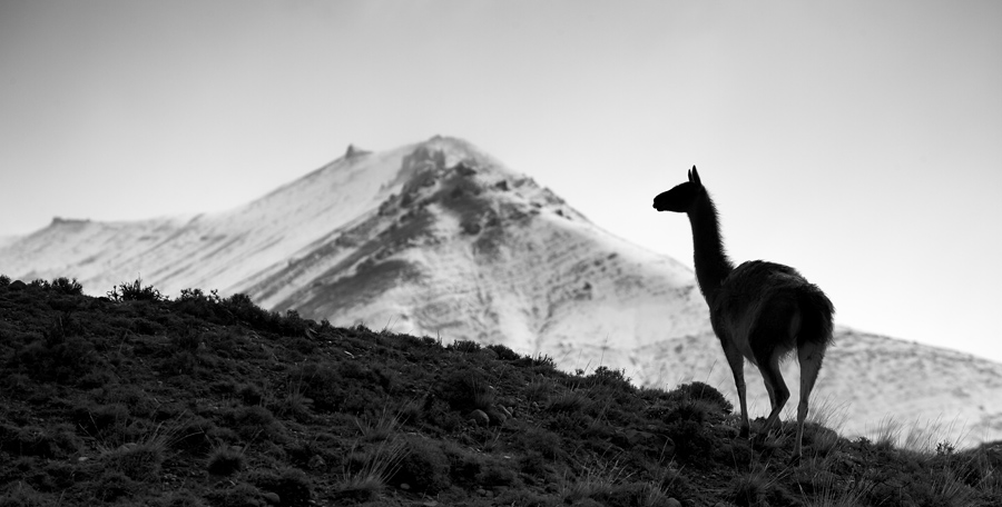 A male Guanaco stands guard atop on small hill. Their natural predator; the puma was not in sight though. Making my way really slowly towards him, I lined him up with the mountains in the background to give a sense of place.