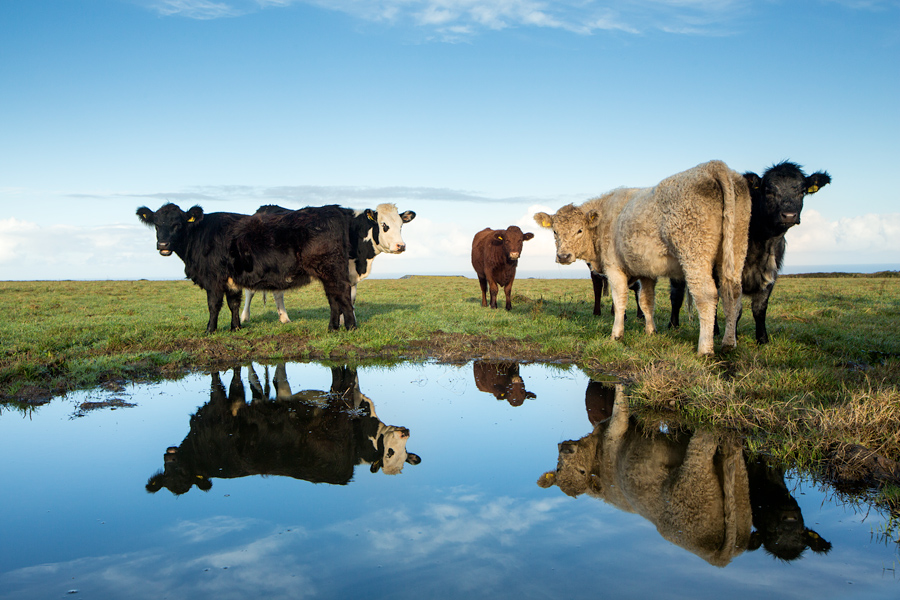 As I approached the gate, the cows started gathering together but I meant them no harm. They must have heard my inner thoughts as most of them came within an arms length. This group of 5 however stayed their distance as I kneeled down in the mud to get their reflection in the small puddle of water.