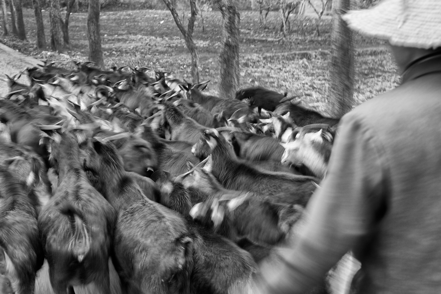 As the herd went past me, I followed the shepard and shot with a slow shutter speed over his shoulder. The blurred movement of the goats and farmer was just what I wanted to show their motion.