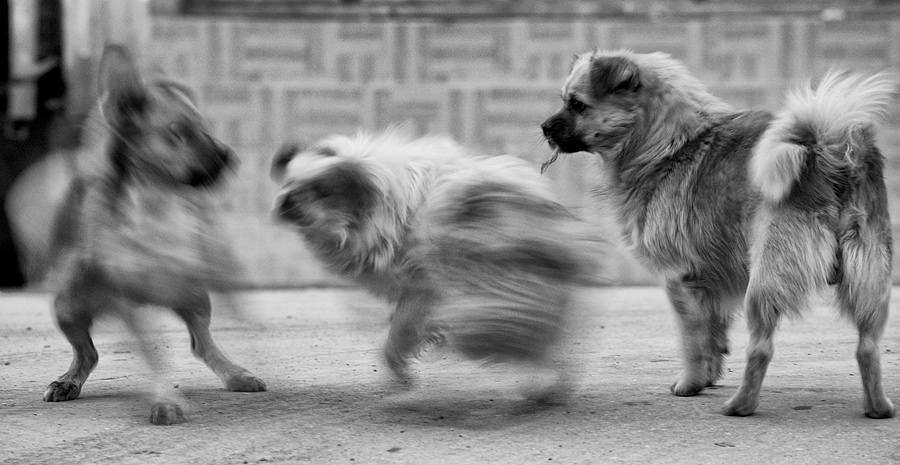 Walking along a street, I noticed the dogs jumping all over each other and from a distance way, I grabbed the camera with the telephoto and went in close. Dropping the ISO down allowed a slower shutter speed to show the fight in a more realistic manner. The dog on the right helped the image by remaining still for that split second and note the small bunch of fur it had gotten from the dog in the center.