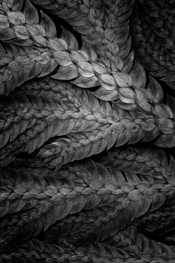 A heavily post-processed image of a Blue Fern. I am not one for heavy post processing but this was such an interesting pattern that I wanted to see what I could get out of it. The end result was way more interesting than the plain coloured version.