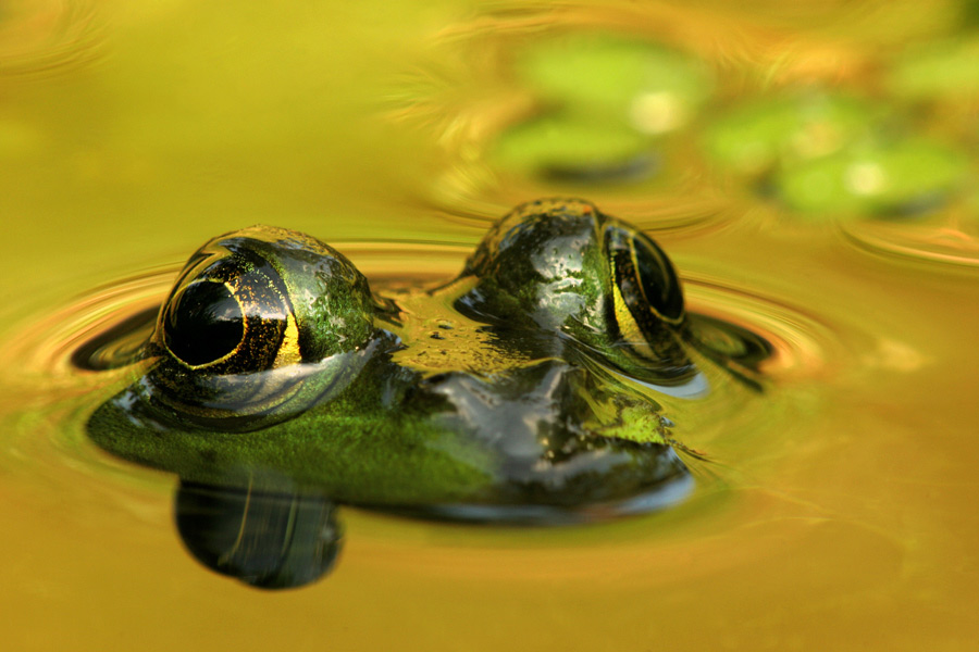 An American Bullfrog peeks out from the water surfaceon a hot humid morning. The yellow background is actually dried grassy slope being reflected onto the waters. Getting down as low as I could, I fired a number of shots, in case of any motion blur.