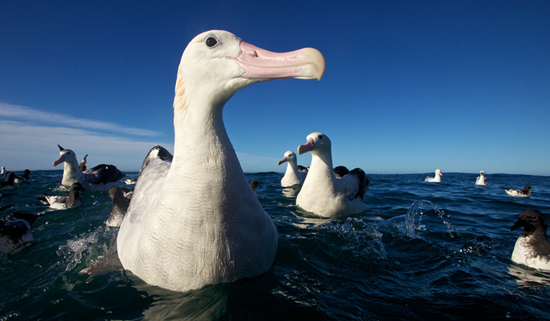 With a wingspan close to 3 metres, the Albatross instills fear in the smaller birds as they head towards the boat, in hope of getting some food.