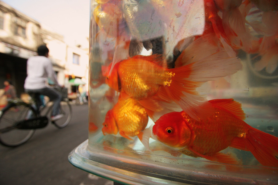 The markets of China are always a draw for me. Walking through one allows me to capture very spontaneous images and the people usually do not really care. The goldfish do however as they get excited at every movement in front of their tank....